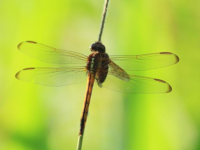 Needhams Skimmer with diptera prey 20160530
