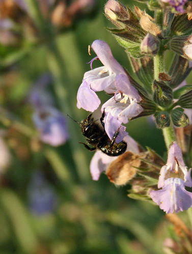 bee on sage | by no stone unstrung