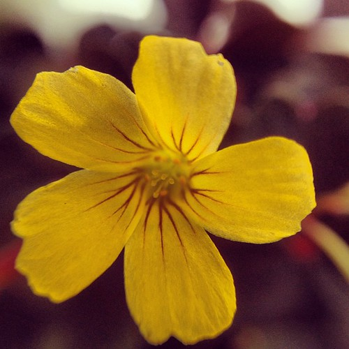 Tiny Oxalis Flower | by nycbone