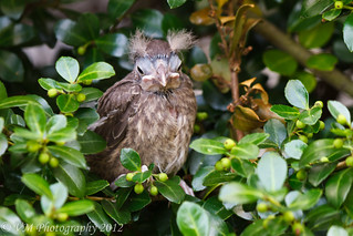 Sparrow Chick | by pdksh
