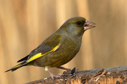 greenfinch3 | by wickwelsh