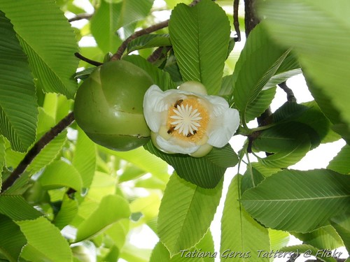 Elephant apple flower with immature fruit | by Tatters 10mln views-10 years