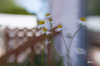 Lensbaby daisies | by Houry Photography -on/off