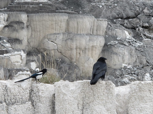 Yellowstone: Strange crow buries a rock | by mormolyke