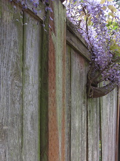 Wisteria Versus the Fence | by jchants