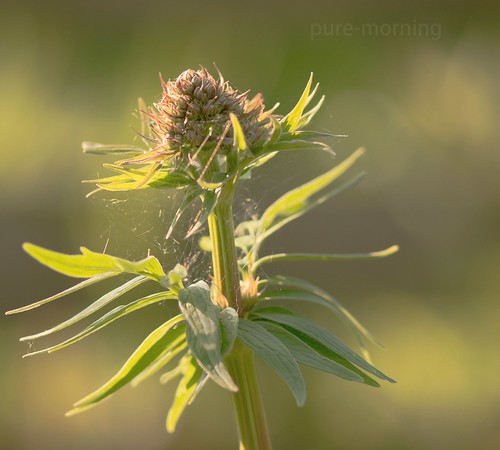wild Valerian growing in the garden | by pure-morning