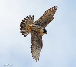 "peregrine falcon (wild) | by "" yer tis my ansome """