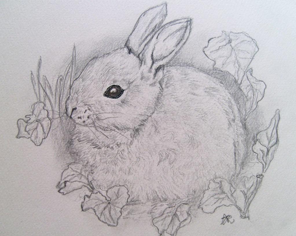 Baby Rabbit Pencil Drawing X Sillysquirrel X Flickr