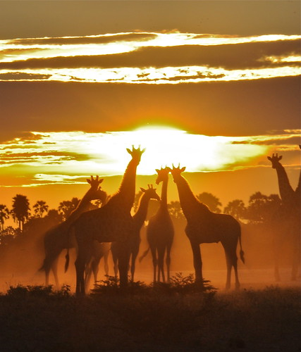 Giraffes at Sunset- Botswana | by rhsand1