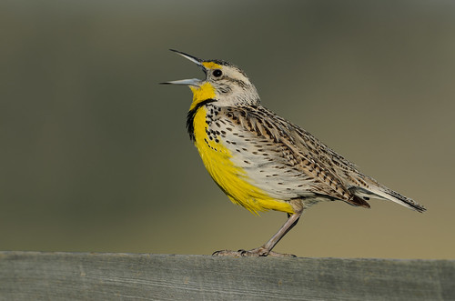 Western Meadowlark_2741.jpg | by Mully410 * Images
