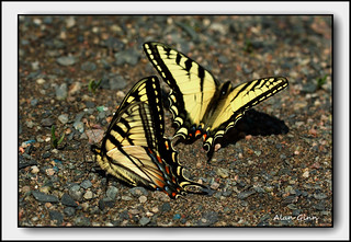 "Canadian Tiger Swallow Tail Butterflys ""Explored"" 