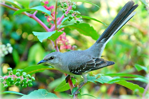 State bird of Texas - The Mockingbird | by stilesathelake