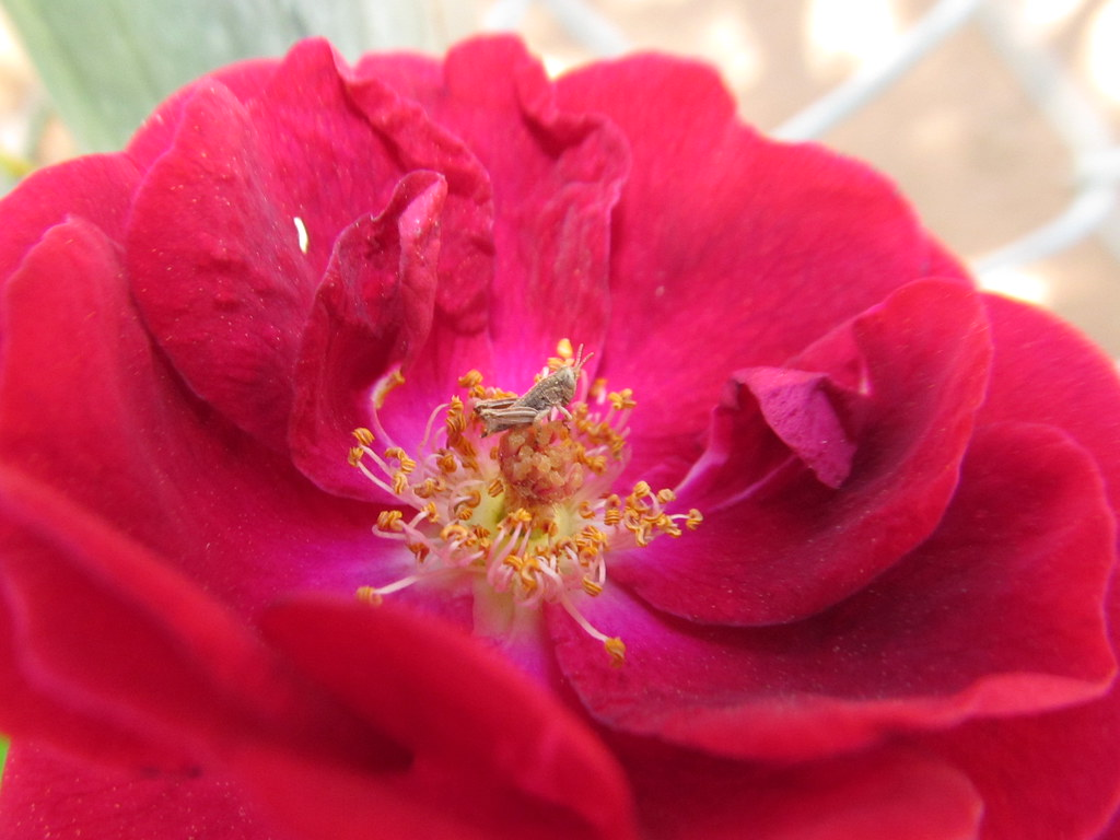 My Red Rose And Tiny Friend For July 3rd Happy Birthday Flickr