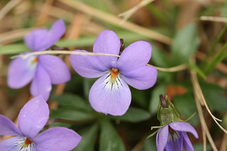 Viola pedata detail | by dogtooth77