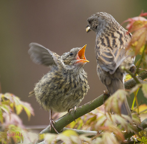 Dunnock Chick.   Feeding Time | by aerial2