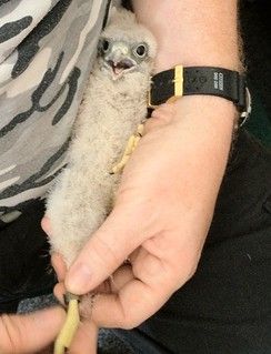 Aston University kestrels are ringed for identification | by Aston University