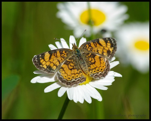 Pearl Crescent (Phyciodes tharos)... | by pieceoflace photography