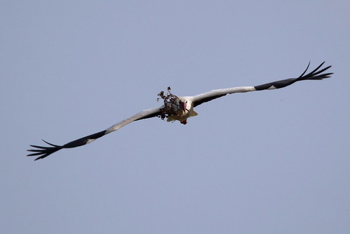 Storks have the most amazing wings - IMG_5899a | by Alfs photodiary