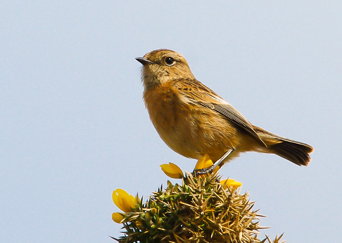 Female Stonechat | by Alistair Prentice.