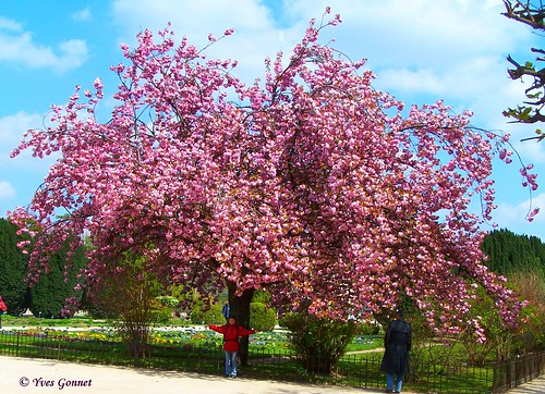 Cerisier v n rable historique rose japonais jardin de for Plante rose de noel