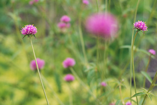 Gomphrena in my garden | by simply colleen