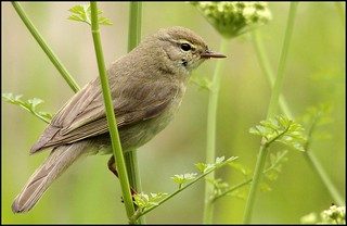 Willow Warbler | by minnieme2008