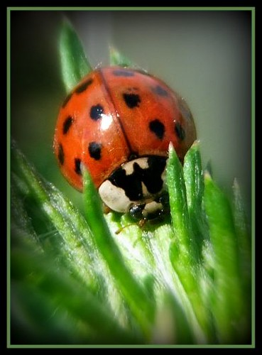 asian lady-bug | by karin_b1966