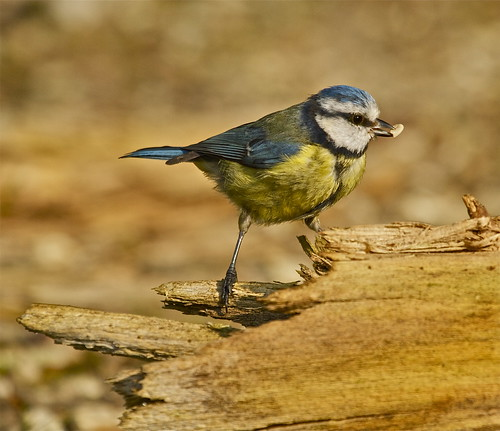 BLUE TIT | by tony.cox27