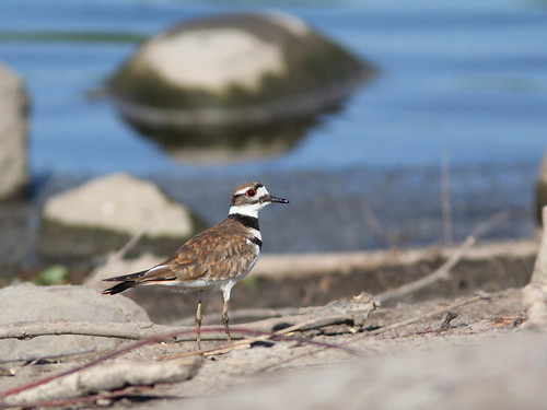 Killdeer 20120525 | by Kenneth Cole Schneider