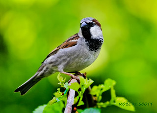Mr. Male House Sparrow. | by Robert Scott Photographyy