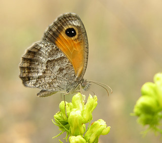 Southern Gatekeeper | by Oregon State University