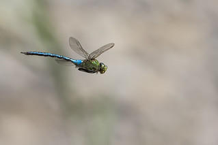 _MG_2770_Anax imperator | by HelmiGloor