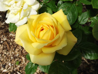 Yellow Rose | by guildhall kirky