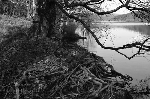 110312-birch-roots | by treeblog