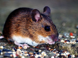 Woodmouse | by Buzzard2001