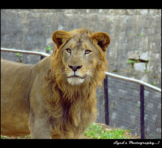 Sher Khaaan.! | by Syed's Photography...!