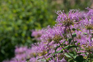 Monarda fistulosa | by Eric Hunt.