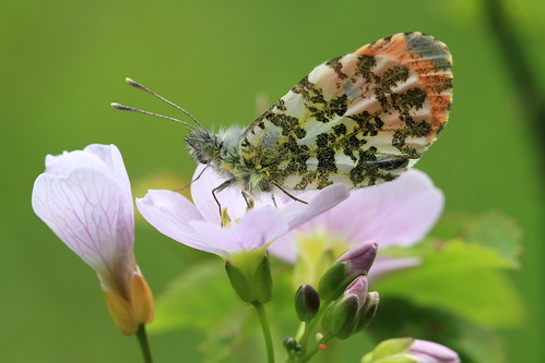 Orange Tip Butterfly | by Chris*Bolton