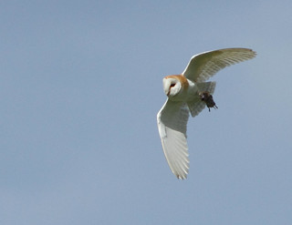 Barn Owl | by alison brown 35