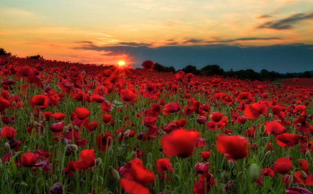 Poppy Field Sunset Rich Jones Flickr