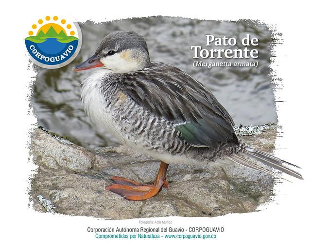 Pato de Torrente Merganetta armata  Flickr