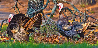 Wild gobblers | by Lindell Dillon