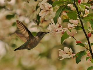Working the Apple Blossoms | by Bill Bunn
