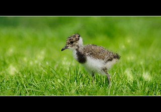 I think it's a little lapwing, but am not sure | by maar73