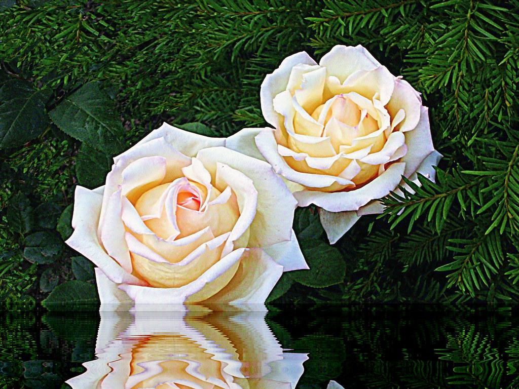 Bellas Rosas De Mayo Paloma Flickr