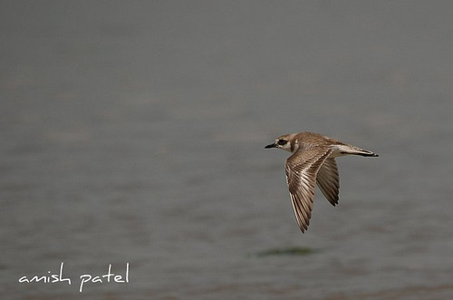 sand plover | by amish_patel