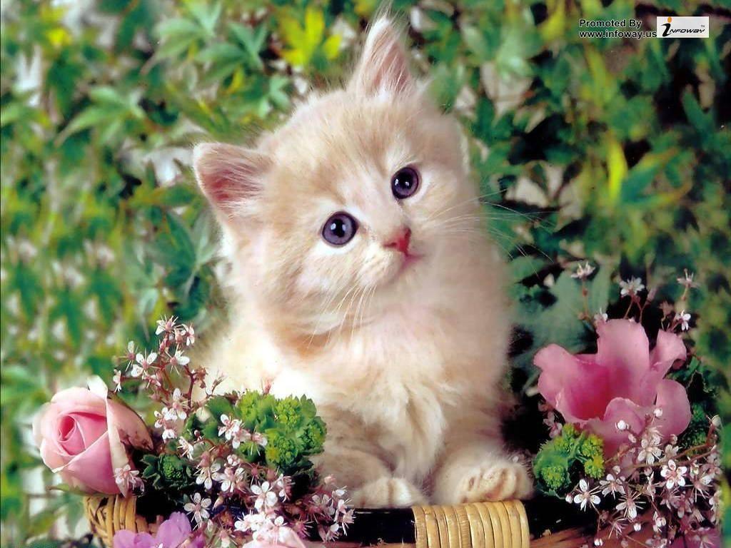 Cute Cat Wallpapers Kitten Cute Cat Wallpapers Kitten Flickr