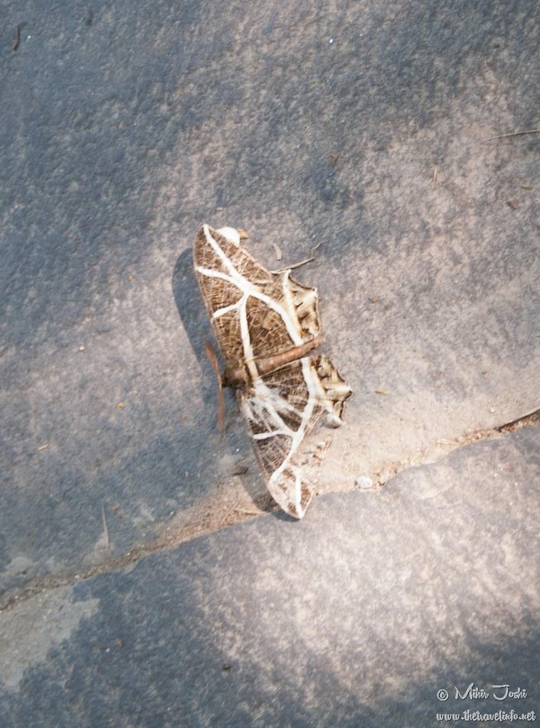 Erebomorpha fulgaria(Family Geometridae) Moth