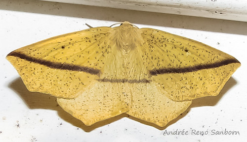 Yellow Slant-Line - Hodges#6963 (Tetracis crocallata)