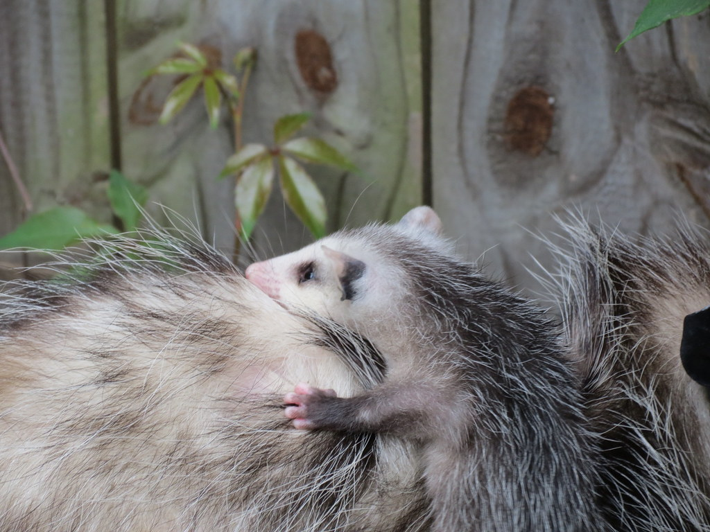 opossum with baby in my backyard opossums are shy nocturn u2026 flickr